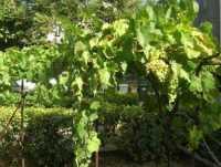 vite con uva - 10 agosto 2009  - Castellammare del golfo (1993 clic)