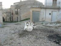 periferia: animali da cortile in libertà - 9 ottobre 2007    - Vita (2629 clic)