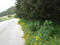 sul monte Erice, ai margini del bosco - 1 maggio 2009   - Erice (2161 clic)