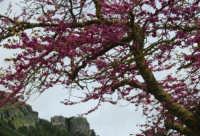 monte Erice - albero in fiore - 1 maggio 2009  - Erice (2764 clic)
