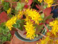 giallo, verde e rosso . . . pianta grassa in fiore - 6 marzo 2008  - Alcamo (2649 clic)
