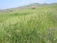 la campagna a primavera - 3 maggio 2009    - Buseto palizzolo (1759 clic)