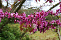 monte Erice - albero in fiore: particolare - 1 maggio 2009  - Erice (2941 clic)