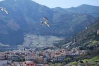 volo di gabbiani al porto, con vista della città e del monte Inici - 21 febbraio 2009  - Castellammare del golfo (1840 clic)