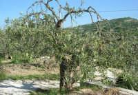 ulivo - 14 maggio 2006  - Chiusa sclafani (1368 clic)