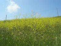 la campagna a primavera - 3 maggio 2009    - Buseto palizzolo (1492 clic)