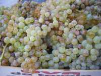 uva da mosto - 18 settembre 2009   - Castellammare del golfo (3762 clic)