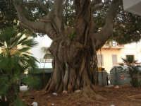 Piazza del Popolo - albero centenario - 24 settembre 2007  - Marsala (1142 clic)