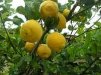 limoni . . . bagnati dalla pioggia - 1 febbraio 2009   - Buseto palizzolo (5530 clic)
