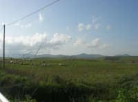 GALLITELLO - paesaggio rurale e gregge - 1 marzo 2009   - Alcamo (2456 clic)