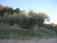 olivi - 2 ottobre 2007    - Poggioreale (1847 clic)