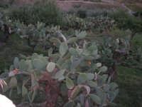 piante di ficodindia alla periferia del paese distrutto dal terremoto del gennaio 1968 - 2 ottobre 2007  - Poggioreale (1520 clic)