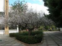 Albicocco in fiore nel giardino dell'I.C. G. Pascoli - 10 marzo 2006  - Castellammare del golfo (1231 clic)