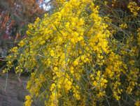 acacia retinodes - 6 aprile 2008   - Marinella di selinunte (1679 clic)