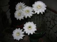tripudio di fiori appena sbocciati: vivranno solo un giorno - 1 agosto 2007  - Alcamo (1232 clic)