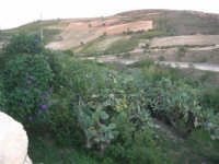piante di ficodindia e la campagna alla periferia del paese distrutto dal terremoto del gennaio 1968 - 2 ottobre 2007  - Poggioreale (2153 clic)