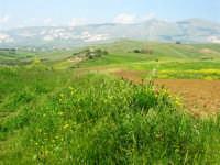 la campagna a primavera - 3 maggio 2009  - Buseto palizzolo (1763 clic)