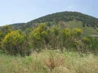 Contrada Ardigna - ginestra e Montagna Grande - 17 maggio 2009  - Salemi (2781 clic)