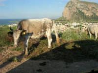 panorama e mucche - 20 maggio 2007  - San vito lo capo (758 clic)