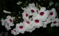 fiori del nostro giardino - 13 giugno 2006  - Alcamo (1084 clic)