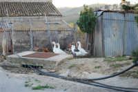 periferia: animali da cortile - 9 ottobre 2007  - Vita (1608 clic)