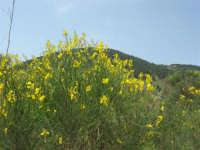 Contrada Ardigna - panorama con ginestra - 17 maggio 2009  - Salemi (2756 clic)
