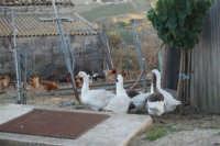 periferia: animali da cortile - 9 ottobre 2007  - Vita (1439 clic)