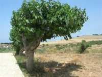 Fattoria Manostalla Villa Chiarelli - alberi di gelso e panorama dei campi - 7 giugno 2009  - Partinico (4168 clic)