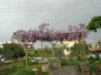 una splendida pergola di glicine - 6 aprile 2006  - Alcamo (4853 clic)