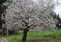 mandorlo in fiore - 15 febbraio 2008  - Alcamo (1005 clic)
