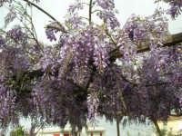 una splendida pergola di glicine (particolare) - 6 aprile 2006  - Alcamo (1565 clic)