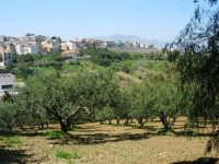 alberi d'ulivo e panorama della periferia - 18 aprile 2007  - Alcamo (984 clic)