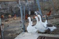periferia: animali da cortile - 9 ottobre 2007  - Vita (1630 clic)