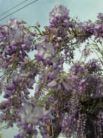 una splendida pergola di glicine (particolare) - 6 aprile 2006  - Alcamo (1241 clic)