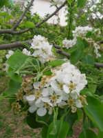 fiori di pero - 6 aprile 2006  - Alcamo (1230 clic)
