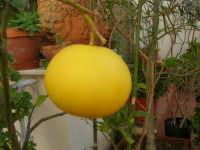 pompelmo . . . in terrazza - 1 gennaio 2007  - Alcamo (2347 clic)