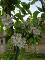 fiori di pero - 6 aprile 2006  - Alcamo (1270 clic)