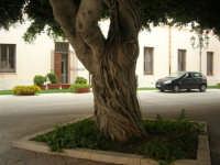 ex Quartiere Spagnolo, attuale sede del Palazzo del Comune: uno degli alberi al centro dell'atrio - 24 settembre 2007  - Marsala (976 clic)