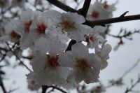 mandorlo in fiore . . . bagnato dalla pioggia - 15 febbraio 2008  - Alcamo (1551 clic)