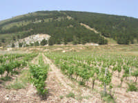 Contrada Ardigna - vigneto e Montagna Grande - 17 maggio 2009  - Salemi (2908 clic)