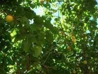 albicocco - 13 giugno 2009  - Castellammare del golfo (2114 clic)