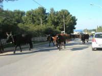 occorre fermarsi e dare la precedenza alle mucche - 24 febbraio 2008   - San vito lo capo (547 clic)