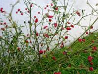 pianta di peperoncino - 4 gennaio 2007  - Torretta granitola (5622 clic)
