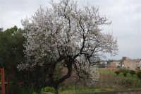 mandorlo in fiore - 15 febbraio 2008  - Alcamo (895 clic)