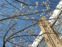 fiori di albicocco - 4 marzo 2008  - Castellammare del golfo (1085 clic)