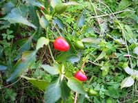 pianta di peperoncino - 4 gennaio 2007  - Torretta granitola (4631 clic)