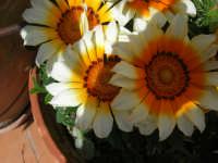 margheritone - 30 marzo 2008  - Alcamo (1047 clic)