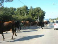 occorre fermarsi e dare la precedenza alle mucche - 24 febbraio 2008   - San vito lo capo (576 clic)