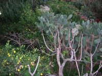 piante di ficodindia, alberi di limone e ficara spoglia in un giardino - 18 febbraio 2007  - Bagheria (2360 clic)