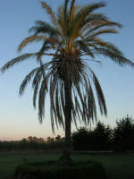 una splendida palma - 8 ottobre 2006  - Marausa (3135 clic)